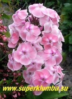 Флокс метельчатый ИЗАБЕЛЬ (Phlox paniculata Isabelle)  Шевлякова О.Б,  1996 г, С, 70/4,3. Нежно розовые тени теплого оттенка по белому полю лепестков. Цветок колесовидный. Соцветие округло-коническое, большое, плотное. Куст прочный, красивый. Разрастается медленно. ЦЕНА 400 руб (1 шт) НЕТ НА ВЕСНУ