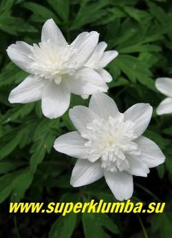 АНЕМОНА ДУБРАВНАЯ «Вестал» (Anemone nemorosa «Vestal») цветы белые махровые диаметром 4 см, предпочитает расти в тени деревьв, цветет с мая, высота 15-20 см, ЦЕНА 250 руб (делёнка)