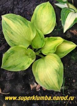 """Хоста ТАТУ (Hosta """"Tattoo"""") Размер MINI. Яркие золотые листья размером 6x6 см , с уникальной зеленой """"татуировкой"""" в форме листа клена на каждом из них, у взрослых экземпляров листья становятся слегка жатыми, высота до 20 см, цветет лавандовыми цветами в июне-июле . Разрастается медленно.   НЕТ  В ПРОДАЖЕ"""