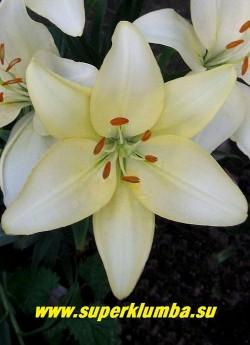Лилия РОЯЛ ФЕНТЕЗИ (Lilium Royal Fantasy) На фото цветок в конце цветения практически белого цвета. ЦЕНА 150 руб (1 шт)