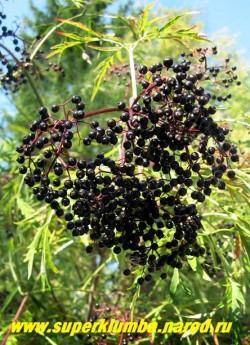 """на фото ягоды БУЗИНЫ ЧЕРНОЙ """"Рассеченнолистной"""" (Sambucus nigra """"Laciniata"""") Плоды черные, съедобные, по вкусу напоминают голубику и ежевику. НОВИНКА! ЦЕНА 400-500 руб (3-4 летки). НЕТ В ПРОДАЖЕ"""