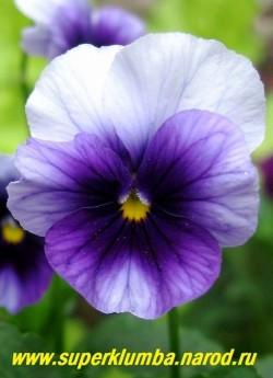 """ФИАЛКА ГИБРИДНАЯ №3 """"Бело-фиолетовая"""". Голубой верх и фиолетово-голубой низ с контрастным желтым глазом . Куст высотой 20 см. малолетка (3-4 года) но легко возобновляется самосевом. ЦЕНА 150 руб (1 шт)"""