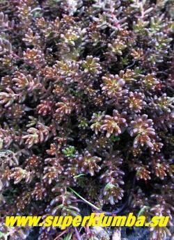 ОЧИТОК БЕЛЫЙ «АТРОПУРПУРЕУМ» (Sedum album f. atropurpureum) форма с пурпурно-окрашенными листьями и побегами . Ярче всего окраска выглядит на полном солнце. НОВИНКА!ЦЕНА 150-200 руб (1 деленка)