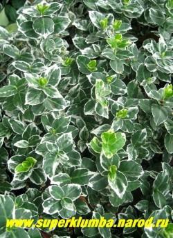 """БЕРЕСКЛЕТ ФОРЧУНА сорт """"Аргентео -вариегата"""" (Еuonymus fortunei ''Argenteo-Variegata''). стелющийся вечнозеленый кустарник высотой до 30см. Отличается от предыдущего сорта белым цветом окантовки листовой пластины. НЕТ В ПРОДАЖЕ"""