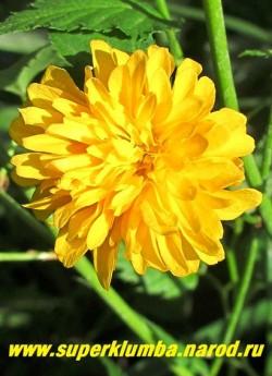 """КЕРРИЯ ЯПОНСКАЯ """"ПЛЕНИФЛОРА"""" (Кerria japonica """"Pleniflora"""") Цветок крупным планом. Предпочитает солнце, хотя мирится и с полутенью, где цветет менее обильно. Требуется защищенное от холодных ветров местоположение и богатая, влажная почва. НОВИНКА!  ЦЕНА 400 руб  НЕТ НА ВЕСНУ"""