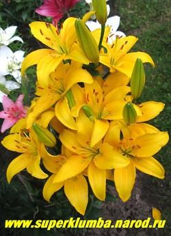 Лилия ЭРРОУ (Lilium  Arrow) Азиатский гибрид. Насыщенно яично-желтый цвет цветка, небольшой крап, мощные цветоносы, неприхотливая. Высота до 90 см, цветет в июле. ЦЕНА 200 руб (1 шт)