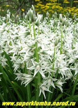 ПТИЦЕМЛЕЧНИК ПОНИКШИЙ (Ornithogalum nutans) серебристо-белые с зеленоватой полоской по лепесткам цветы собраны в крупное соцветие как у гиацинта, цветет май-июнь, высота до 60 см, ЦЕНА 150 руб (5 шт)