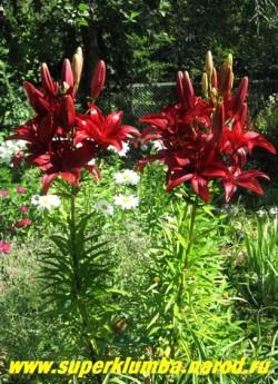 Лилия БЛЭК АУТ Lilium  (Lilium Black Out) Азиатский гибрид.  Очень эффектный сорт. Цветет в середине июля. Высота до 120 см Цена 200-250 руб  (1 лук)