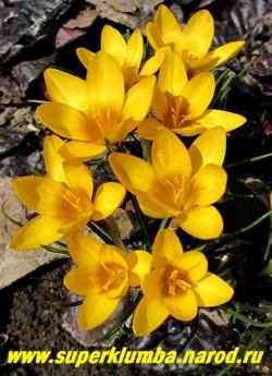 """КРОКУС """"Голден Йеллоу"""" (Crocus ''Golden Yellow'') оранжево-желтый крупный , очень яркий, цветет апрель-май.  ЦЕНА 120 руб (3 шт)"""