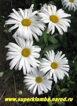 """кустик нивяника """"АЛЯСКА"""" (Leucanthemum """"Alaska"""") в моем саду. Долгоцветущая с крепкими стеблями ромашка, долго стоит в срезке. ЦЕНА 250 руб (делёнка)  НЕТ НА ВЕСНУ"""