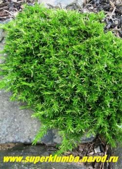 ФЛОКС ШИЛОВИДНЫЙ (Phlox subulata) фото до цветения. Образует вечнозеленые плотные коврики толщиной 5-10 см. До   и после цветения кустики похожи на миниатюрные хвойники. Светолюбив, засухоустойчив, предпочитает бедные почвы,  холодостоек.