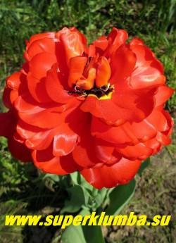 Тюльпан МИРАНДА (Tulipa Miranda) махровый поздний (пионовидный), ярко-красный с черной серединкой , лепестки блестящие, атласные, огромные до 18 см в диаметре цветы ,отличная срезка, длительное цветение, высота 45-55 см. ЦЕНА 80 руб (1 лук)