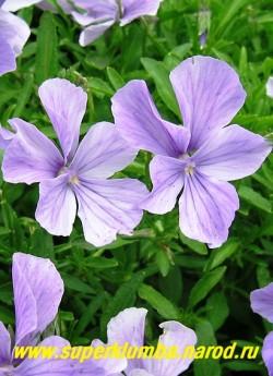 """ФИАЛКА РОГАТАЯ """"сиренево-голубая"""" (Viola cornuta) - цветы крупным планом . ЦЕНА 200-250 руб  (1 дел) НЕТ НА ВЕСНУ"""