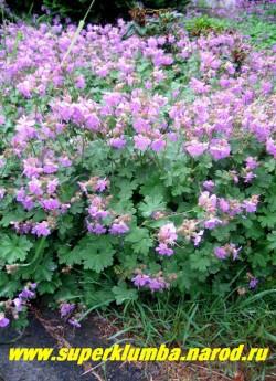 """ГЕРАНЬ КАНТАБРИГИЙСКАЯ """"Кэмбридж"""" (Geranium x cantabrigiense ''Cambridge'') цветет многочисленными нежными сиренево-розовыми цветами диаметром до 2,5 см. Зацветает герань в июне и цветет до 30 дней. Стебли поднимаются над зарослью листьев на 5—10 см. Все растение ароматно. ЦЕНА 150 руб (1 шт)"""