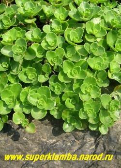 """ОЧИТОК ЛОЖНЫЙ """"Пурпурный"""" (Sedum spurium var. coccineum) высота до 15 см, Листья супротивные, обратносердцевидные 1,5 -2 см длиной, по краю зубчатые , весной красновато-зеленые, зимующие. Цветет в  июне-июле пурпурными или нежно-розовыми цветами. ЦЕНА 100-150 руб"""