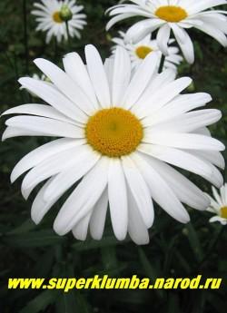 """Нивяник  """"АЛЯСКА"""" (Leucanthemum """"Alaska"""") крупные цветы с чуть выгнутыми лепестками с 1-2 рядными лепестками, диаметр цветка 10-12 см, высота 70-80 см, цветет в июне-июле, ЦЕНА 250 руб (делёнка)  НЕТ НА ВЕСНУ"""
