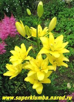 Лилия ФАТА МОРГАНА (Lilium  Fata Morgana) азиатский гибрид, махровые ярко-желтые чашевидные с небольшим вишневым крапом цветы , цветет июль, высота до 90 см.,   НЕТ В ПРОДАЖЕ