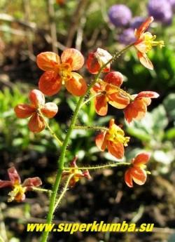 ГОРЯНКА ВАРЛИЙСКАЯ «Оранж Кенигин» (Epimedium x warleyense «Orange Konigin»)  цветы крупным планом. НОВИНКА!  ЦЕНА 350 руб (1 делёнка)