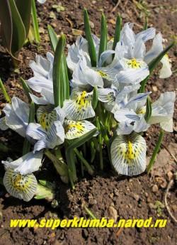 """Кустик ИРИСА СЕТЧАТОГО """"КАТАРИНА ХОДЖКИН"""" (Iris reticulata """"Katharine Hodgkin"""") в моем саду весной. Самый ранний, расцветающий вместе с подснежниками ирис. Неприхотлив, но любит хорошо дренированную почву. НОВИНКА! ЦЕНА ЦЕНА 120 руб (3 лук)"""