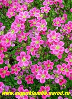 """КАМНЕЛОМКА АРЕНДСА """"БЛЮТТЕНТЕППИХ"""" (Saxifraga x arendsii """"Bluttnteppich"""")  Цветки до 1,5 см в диаметре ярко-малиновые  на цветоносах до 15см высотой, Цветет в мае-июне очень обильно.  ЦЕНА 150-200 руб (7-12 розеток)"""