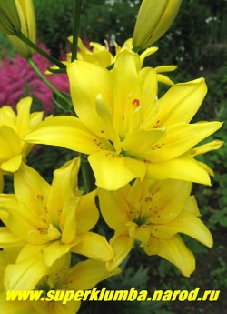 Лилия ФАТА МОРГАНА (Lilium  Fata Morgana), Цветок крупным планом.  НЕТ В ПРОДАЖЕ