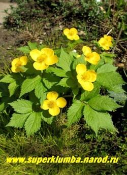 ЛЕСНОЙ МАК или ЧИСТОТЕЛ ВЕСЕННИЙ (Hylomecon vernalis) образует красивый куст высотой до 25см, цветы желтые крупные до 6 см в диаметре. Цветет весь май, затем постепенно листва отмирает до следующей весны (эфемероид). Лучшее место-под деревьями и кустарниками. Редкое растение. РЕДКОЕ РАСТЕНИЕ! ЦЕНА 250 руб (1 шт)