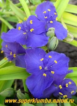 """ТРАДЕСКАНЦИЯ """"СВИТ КЕЙТ"""" (Tradescantia """"Sweet Kate"""") ярко-желтая листва очень красива в сочетании с темно-синими цветами, диаметр цветка 4 см, цв. июнь-сентябрь, высота до 50 см. ЦЕНА 300 руб (1 шт)"""