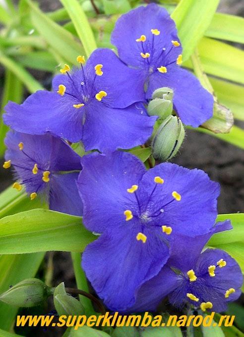 Садовая традесканция цветок фото