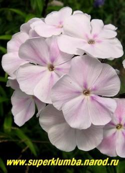 Флокс метельчатый ЗЕФИР (Phlox paniculata Zefir) цветы крупным планом. ЦЕНА 350 руб (1 шт) НЕТ НА ВЕСНУ