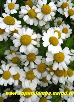 """ПИРЕТРУМ ДЕВИЧИЙ """"Ауреум"""" (Pyrethrum parthenium """"Aureum"""") цветы крупным планом, хорошо отпугивает садовых вредителей . ЦЕНА 100-200 руб (1 делёнка)"""