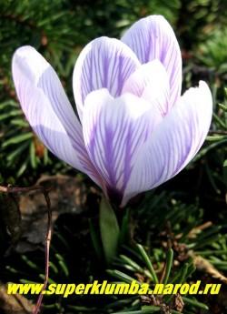 """КРОКУС ВЕСЕННИЙ """"Пиквик"""" (Crocus vernus """"Pickwick"""") крупноцветковый голубой с фиолетовыми полосами, цветет апрель-май. ЦЕНА 120 руб (3 шт)"""