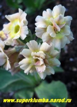 """Примула ушковая """"ЛИМОННО-КРЕМОВАЯ"""" (Primula аuricula) на фото махровые цветы. У этого сорта часто наряду с простыми появляются махровые цветы. НОВИНКА! ЦЕНА 300 руб(штука)  НЕТ НА ВЕСНУ"""