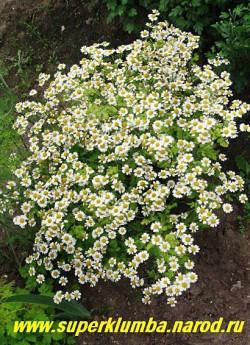 """ПИРЕТРУМ ДЕВИЧИЙ """"Ауреум"""" (Pyrethrum parthenium """"Aureum"""") Многолетний!  Листва резная ароматная лимонно-желтая, высота 30-40см, цветет обильно в июне-августе мелкими ромашками 2,5 см в диаметре. ЦЕНА 100-200 руб (1 делёнка)"""