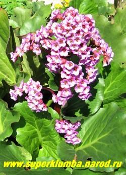 БАДАН СЕРДЦЕЛИСТНЫЙ (Bergenia cordifolia) бадан с достаточно крупными широкими листьями и темно-розовыми цветами на высоких 25- 35см цветоносах. Прекрасно растет на солнце , в полутени и тени, но цветет лучше на светлом месте в мае-июне. Высушенные листья бадана служат полезной заменой чая. ЦЕНА 150-200 руб (деленка)