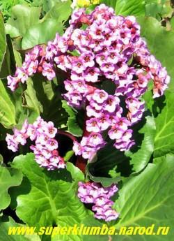 БАДАН СЕРДЦЕЛИСТНЫЙ (Вergenia cordifolia)  декоративное и лекарственное растение, Очень красив весной с высокими соцветиями-свечами усыпанными малиново-розовыми цветами и осенью когда его крупные вечнозеленые листья приобретают нарядную пурпурную окраску , высота 20-30 см, цветет май-июнь  ЦЕНА 150-200 руб (дел)