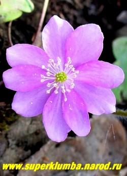 """ПЕЧЕНОЧНИЦА БЛАГОРОДНАЯ """"РОЗЕА"""" (Hepatica nobilis var. rosea) Цветок крупным планом. Лучшее место для печеночниц - полутень под плодовыми деревьями. НОВИНКА! НЕТ В ПРОДАЖЕ."""