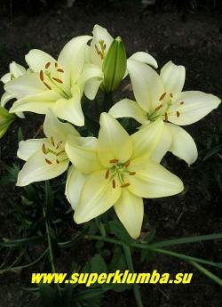 Лилия РОЯЛ ФЕНТЕЗИ (Lilium Royal Fantasy) ЛА-гибрид, распускается чисто лимонной без крапа , затем светлеет почти до белого, цветет июль, высота до 70 см.,   ЦЕНА 150 руб (1 шт)