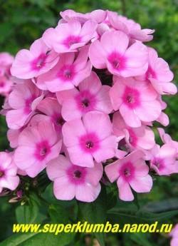 """Флокс Арендса БЭБИ ФЭЙС (Phlox x arendsii """"Baby Face"""") Jan Verschoor, РС, 50/2. Очаровательный мелкоцветковый флокс. Розовые с малиновым глазом цветы собраны в шаровидное, очень плотное соцветие. ЦЕНА 200 руб (1 шт) или  500 руб  (кустик 3-4шт ) НЕТ НА ВЕСНУ"""