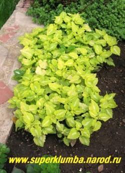 """ЯСНОТКА КРАПЧАТАЯ """"Ауреум""""  (Lamium maculatum """"Aureum"""") Куст в нашем саду. Этот сорт для получения наиболее яркой окраски лучше сажать в светлую полутень, но не на полное солнце, где нежные листочки могут подгорать. ЦЕНА 200-250 руб (1дел)"""