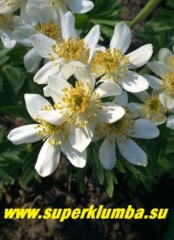 АНЕМОНА ПУЧКОВАЯ или НАРЦИССОЦВЕТКОВАЯ (Anemone fasciculata/narcissiflor) Соцветие в  полном роспуске.  НЕТ В ПРОДАЖЕ.