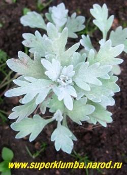 ПОЛЫНЬ СТЕЛЛЕРА (Artemisia stellerana) низкий полукустарничек с стелющимися побегами . Листья крупные, резные, сильно опушенные почти белые. мягкие из-за войлочного опушения. Красива на горках, переднем плане цветников.,высота до 25 см, ЦЕНА 250 руб.