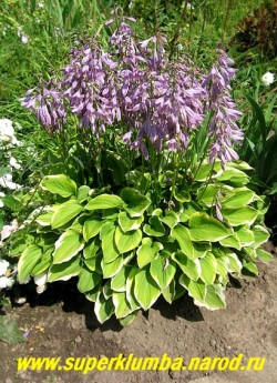 """Хоста ГОЛДЕН ТИАРА (Hosta """"Golden Tiara"""") может выращиваться ради обильного цветения в июне-июле. Цветы многочисленные, темно-сиреневые. Разрастается быстро. Хорошо растёт в тени и на солнце. ЦЕНА 150 (1 шт) или 400 руб ( куст  4-5шт)"""