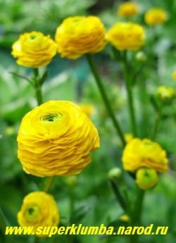 """ЛЮТИК ПОЛЗУЧИЙ """"Махровый"""" (Ranunculus repens f. hortensis)  неприхотлив, может расти в тени и сырых местах, морозостоек, прекрасно подходит для оформления водоемов, высота до 50см, цветет июнь,  ЦЕНА 150 руб (делёнка)"""