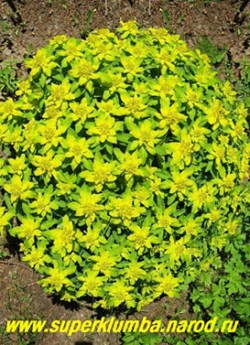 МОЛОЧАЙ МНОГОЦВЕТНЫЙ (Euphorbia polychroma) , этот вид молочая украшает сад с весны до осени. Кусты в форме шара, цветущие в мае-июне ярко-желтыми соцветиями очень красивы, выс. до 50см, ЦЕНА 200 руб (кустик)