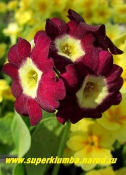 """Примула ушковая """"БОРДОВАЯ БАРХАТНАЯ №2"""" (Primula auricula) бордовая бархатная с лимонным центром, с ароматом, высота до 15см, цветет май-июнь , ЦЕНА 280 руб (штука) НОВИНКА!"""