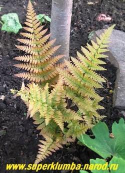 """ЩИТОВНИК КРАСНОСОРУСОВЫЙ """"Бриллианс"""" (Dryopteris erythrosora """"Brilliance"""") папоротник с перисто-рассеченными листьями. Замечателен тем, что его молодыми листьями, имеют медно-красный цвет. Предпочитает хорошо увлажненную богатую почву в полутени. На зиму нужно легкое укрытие. Высота 45-60 см. НЕТ В ПРОДАЖЕ"""