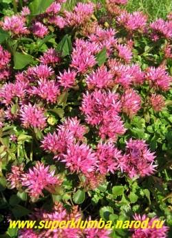 """ОЧИТОК ЛОЖНЫЙ """"Пурпурный"""" (Sedum spurium var. coccineum) Пурпурные цветки собраны в густые, зонтиковидные щитки до 12 см в поперечнике, высота до 15 см. Цветет в июне-июле. Хорошо смотрится в бордюре и на альпийской горке. ЦЕНА 100-150 руб"""