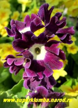"""Примула ушковая """"ФИОЛЕТОВАЯ №1"""" (Primula аuricula) крупная фиолетовая с лимонно-белой серединкой и гофрированными лепестками, с ароматом, высота до 15 см, цветет май-июнь, ЦЕНА 250 руб (штука) НОВИНКА!"""