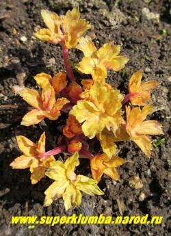 "ГЕРАНЬ ЮШИНОЙСКАЯ ""Конфетти"" (Geranium yoshinoi ""Confetti"" ) на фото яркая кремово-розовая весенняя окраска. ЦЕНА 300 руб (1шт)"