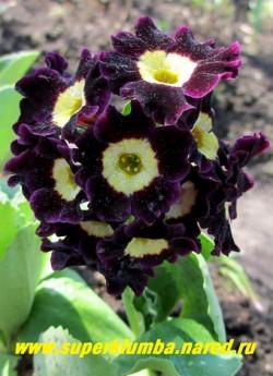 """Примула ушковая """"ЧЕРНИЛЬНАЯ"""" (Primula аuricula) чернильно-фиолетовая,   часто практически черная с лимонной серединой, с ароматом,  листва   имеет белый мучнистый налет,  высота до 15 см, цветет май-июнь, ЦЕНА 250 руб  (штука)"""